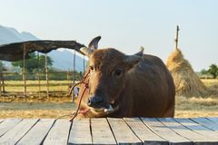 Εκλεκτική εστίαση, Buffalo που εξετάζει τη κάμερα, ταϊλανδικοί βούβαλοι που καλλιεργεί στον τομέα με την ηλιόλουστη ημέρα Στοκ Εικόνα