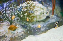 Εκλεκτική εστίαση Ocellaris Clownfish Amphiprion στο θαλάσσιο ενυδρείο Στοκ Φωτογραφία