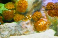 Εκλεκτική εστίαση Ocellaris Clownfish Amphiprion στο θαλάσσιο ενυδρείο Στοκ Εικόνες