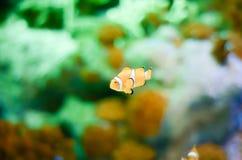Εκλεκτική εστίαση Ocellaris Clownfish Amphiprion στο θαλάσσιο ενυδρείο Στοκ φωτογραφίες με δικαίωμα ελεύθερης χρήσης