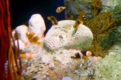 Εκλεκτική εστίαση Ocellaris Clownfish Amphiprion στο θαλάσσιο ενυδρείο Στοκ εικόνα με δικαίωμα ελεύθερης χρήσης