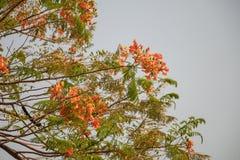 Εκλεκτικό λουλούδι Delonix Regia εστίασης ζωηρόχρωμο στο υπόβαθρο ουρανού Επίσης αποκαλούμενο βασιλικό Poinciana, επιδεικτικός, δ στοκ φωτογραφίες
