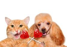 Εκμετάλλευση γατών και σκυλιών στο γλυκό νόστιμο lollipop ποδιών με μορφή της καρδιάς Στοκ Φωτογραφίες