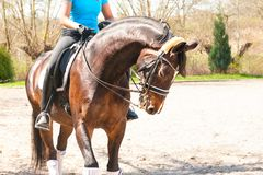 Εκπαίδευση αλόγου σε περιστροφές επιβητόρων για τον ανταγωνισμό με τον οδηγώντας εκπαιδευτή σε το Στοκ φωτογραφία με δικαίωμα ελεύθερης χρήσης
