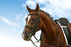 εκπαίδευση αλόγου σε περιστροφές Στοκ Φωτογραφία