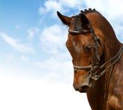 εκπαίδευση αλόγου σε περιστροφές Στοκ εικόνες με δικαίωμα ελεύθερης χρήσης