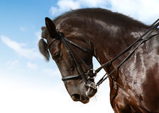 εκπαίδευση αλόγου σε π& Στοκ Εικόνα