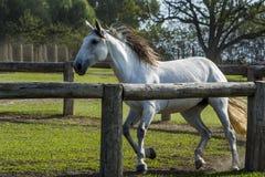 Εκπαίδευση αλόγου σε περιστροφές αλόγων Στοκ Φωτογραφίες