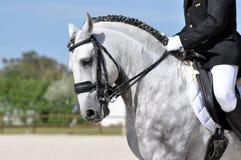 Εκπαίδευση αλόγου σε περιστροφές επιβητόρων Lusitano Στοκ εικόνα με δικαίωμα ελεύθερης χρήσης