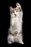 Εκπαιδευμένες στάσεις γατακιών σε δύο πόδια Στοκ Εικόνα