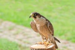 Εκπαιδευμένος εξημερωμένος για το γεράκι ή το γεράκι πουλιών αρπακτικών πτηνών κυνηγιού στοκ εικόνα με δικαίωμα ελεύθερης χρήσης