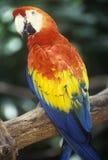 Εκπαιδευμένος παπαγάλος Macaw στους βυθισμένους κήπους, Αγία Πετρούπολη, ΛΦ στοκ φωτογραφίες με δικαίωμα ελεύθερης χρήσης