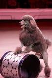 Εκπαιδευμένο σκυλί κατά τη διάρκεια της πρόβας φορεμάτων του τσίρκου 2 προγράμματος τσίρκων 0 στη Αγία Πετρούπολη, Ρωσία Στοκ φωτογραφία με δικαίωμα ελεύθερης χρήσης