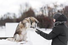 Εκπαιδευτικός ένα σιβηρικό γεροδεμένο σκυλί υπαίθρια το χειμώνα Στοκ Εικόνες