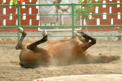 Εκτέλεση του ισπανικού αλόγου Στοκ Φωτογραφία
