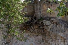 Εκτεθειμένες ρίζες σε μια δρύινη ανάπτυξη δέντρων σε έναν απότομο βράχο Στοκ Φωτογραφίες