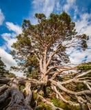 Εκτεθειμένο σύστημα ρίζας δέντρων Στοκ Εικόνες
