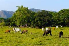 Εκτενή βοοειδή που καλλιεργούν στο τροπικό κλίμα Στοκ Εικόνες