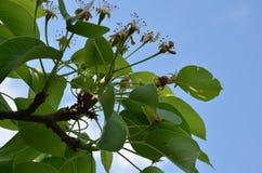 Εκτός από μεταφορτώστε την πρόβλεψη άνοιξη ανθίζει το ανθίζοντας αχλάδι άνοιξη Φυσικό τοπίο λουλουδιών άνοιξη, κινηματογράφηση σε στοκ εικόνες