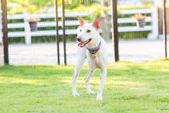 Εκτός λειτουργίας σκυλί τρία στάση ποδιών στοκ φωτογραφία με δικαίωμα ελεύθερης χρήσης