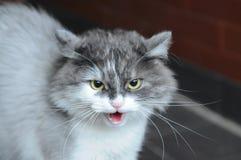 Εκφοβισμένος η sizzling γάτα Γκρίζα γάτα στοκ φωτογραφία με δικαίωμα ελεύθερης χρήσης