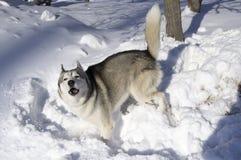 Εκφοβισμένος, σκυλί υπεράσπισης Στοκ Εικόνες