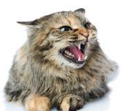Εκφοβισμένο γατάκι που βρίσκεται στο μέτωπο. Στοκ Εικόνες