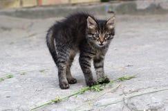 Εκφοβισμένο γκρίζο γατάκι Στοκ Φωτογραφία