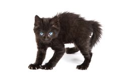 Εκφοβισμένο μαύρο γατάκι που στέκεται σε μια άσπρη ανασκόπηση Στοκ Εικόνα