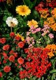 εκφράστε τη μακρο ευχαρίστηση αγάπης ζωής gerbers gerbera λουλουδιών λουλουδιών ηλιακή Στοκ εικόνα με δικαίωμα ελεύθερης χρήσης