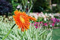 εκφράστε τη μακρο ευχαρίστηση αγάπης ζωής gerbers gerbera λουλουδιών λουλουδιών ηλιακή Στοκ εικόνες με δικαίωμα ελεύθερης χρήσης