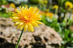 εκφράστε τη μακρο ευχαρίστηση αγάπης ζωής gerbers gerbera λουλουδιών λουλουδιών ηλιακή Στοκ Εικόνες
