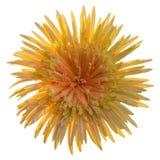 εκφράστε τη μακρο ευχαρίστηση αγάπης ζωής gerbers gerbera λουλουδιών λουλουδιών ηλιακή Στοκ Φωτογραφίες