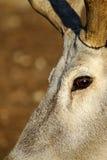 εκφραστικά μάτια deers στοκ εικόνες