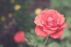 Εκλεκτής ποιότητας αυξήθηκε λουλούδι για το υπόβαθρο στοκ φωτογραφία