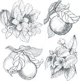 Εκλεκτής ποιότητας βοτανικά λουλούδια και φρούτα απεικόνισης καθορισμένα Στοκ Φωτογραφίες