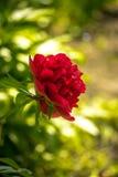 Εκλεκτής ποιότητας κόκκινος peony στενός επάνω Στοκ εικόνες με δικαίωμα ελεύθερης χρήσης