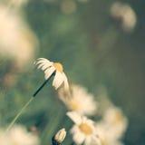 Εκλεκτής ποιότητας στενό επάνω υπόβαθρο τομέων λουλουδιών μαργαριτών στοκ φωτογραφία