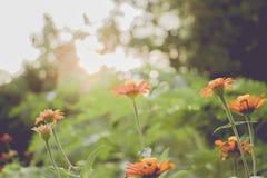 Εκλεκτής ποιότητας τομέας λουλουδιών μαργαριτών chamomile στην ανατολή Στοκ Εικόνες