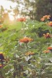 Εκλεκτής ποιότητας τομέας λουλουδιών μαργαριτών chamomile στην ανατολή Στοκ Εικόνα