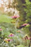 Εκλεκτής ποιότητας τομέας λουλουδιών μαργαριτών chamomile στην ανατολή Στοκ εικόνα με δικαίωμα ελεύθερης χρήσης
