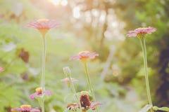 Εκλεκτής ποιότητας τομέας λουλουδιών μαργαριτών chamomile στην ανατολή Στοκ φωτογραφία με δικαίωμα ελεύθερης χρήσης