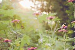 Εκλεκτής ποιότητας τομέας λουλουδιών μαργαριτών chamomile στην ανατολή Στοκ φωτογραφίες με δικαίωμα ελεύθερης χρήσης
