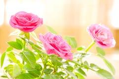 Εκλεκτής ποιότητας τριαντάφυλλα στοκ εικόνα
