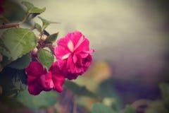 Εκλεκτής ποιότητας υπόβαθρο με Begonia. Στοκ φωτογραφία με δικαίωμα ελεύθερης χρήσης