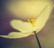 Εκλεκτής ποιότητας φωτογραφία των άσπρων λουλουδιών anemones Στοκ Εικόνα