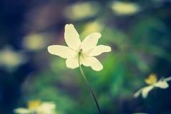 Εκλεκτής ποιότητας φωτογραφία των άσπρων λουλουδιών anemones Στοκ φωτογραφία με δικαίωμα ελεύθερης χρήσης