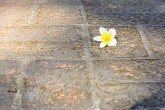 Εκλεκτική εστίαση του άσπρου λουλουδιού Plumeria στο έδαφος τούβλου Στοκ Εικόνες