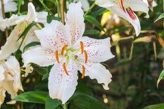 Εκλεκτική εστίαση των ζωηρόχρωμων λουλουδιών κρίνων με το φως ήλιων, selecti Στοκ Φωτογραφίες