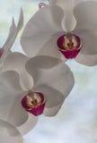 Εκλεκτικό λουλούδι ορχιδεών phalaenopsis εστίασης άσπρο Στοκ Εικόνες